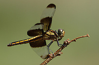 The Widow Skimmer (Libellula luctuosa) is one of the group of dragonflies known as King Skimmers. Adults have a steely blue body area, but juveniles are yellow with brown stripes (as seen here).