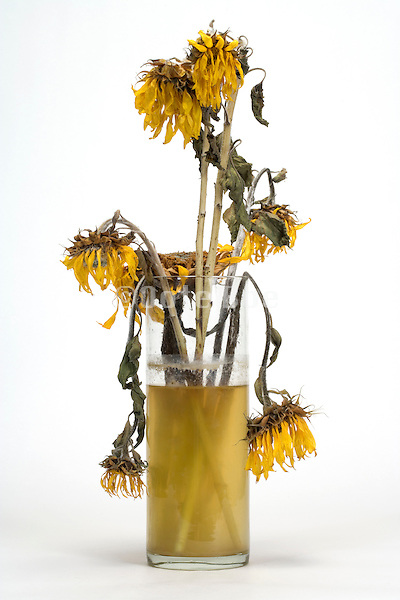 dying sunflowers in a vase with dirty water