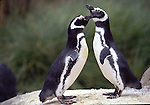 magellanic penguins grooming