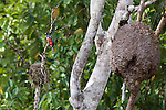 Lattice-tailed Trogon, Tiputini