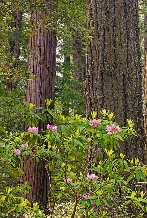 Redwood & Rhododendron V