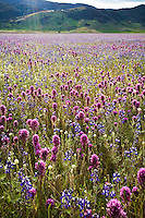 Bear Valley California wildflowers with Owl's Clover (Orthocarpus) and Lupin