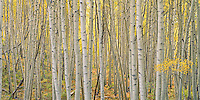 Aspen trees, Colorado, archival pigment on canvas, 20x40 edition of  12    $1200, print $1000