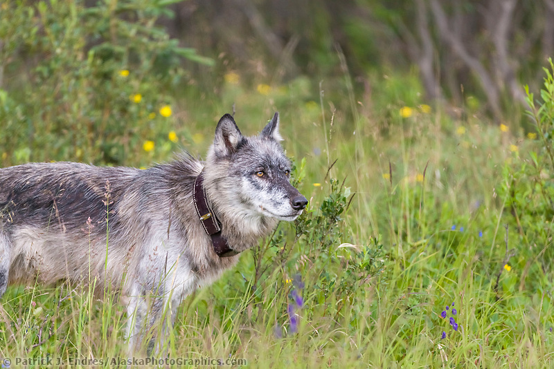 Collared gray wolf, Denali National Park, interior, Alaska.