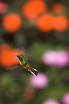 Selvatura Hummingbird Preserve, Monteverde, Costa Rica; a Coppery-headed Emerald  (Elvira cupreiceps) hummingbird, Esmeralda de coronilla cobriza, hovers in front of colorful flowers , Copyright © Matthew Meier, matthewmeierphoto.com All Rights Reserved