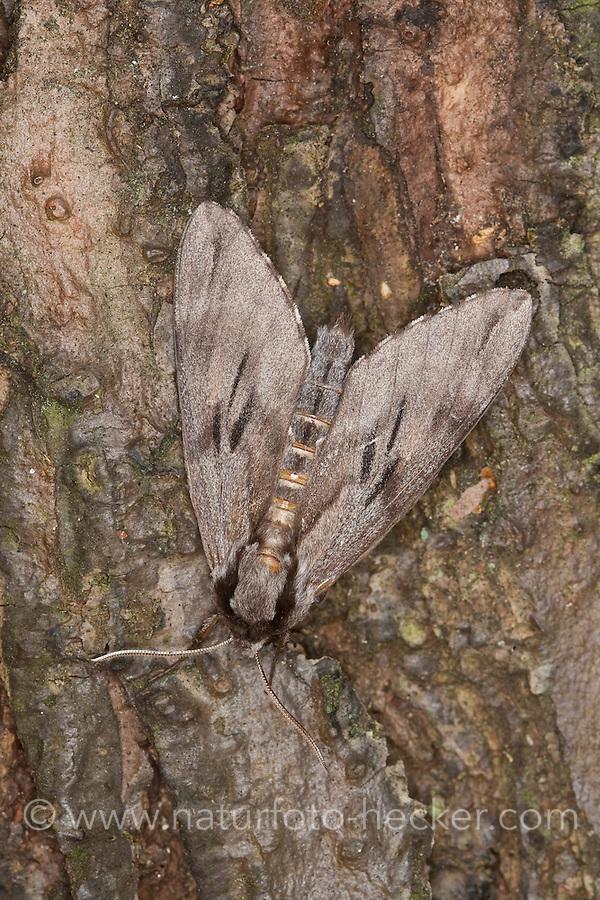 Kiefernschwärmer, Kiefern-Schwärmer, Hyloicus pinastri, Sphinx pinastri, pine hawkmoth, Schwärmer, Sphingidae, hawkmoths, sphinx moths