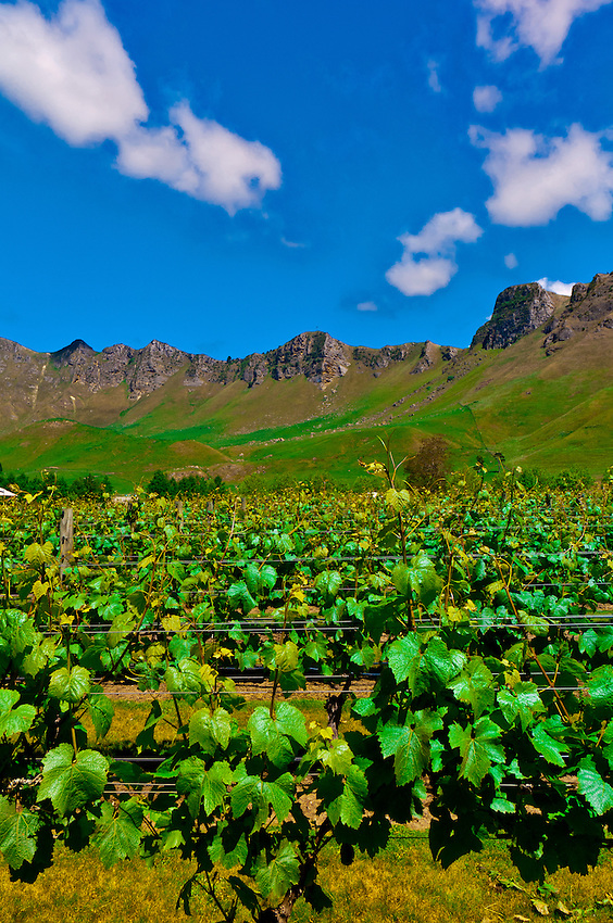 Vineyards of the Craggy Range Winery (Te Mata Peak in background), Havelock North, Hawkes Bay, North Island, New Zealand