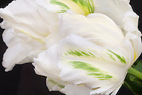 Parrot Tulips Madonna in white spring flowers bulbs with green markings flare, black background