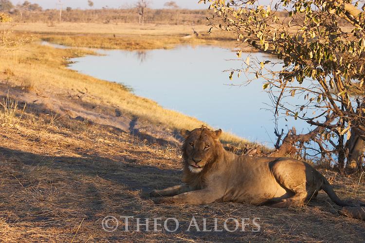 Botswana, Chobe National Park, Savuti, male lion (Panthera leo) resting on bank of Savuti Channel