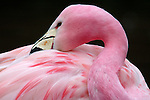 Andean Flamingo, Phoenicoparrus andinus, captive, found in Northern Chile, altiplano, pink, vunerable, threatened, on ICUN Red List and CITES List. .South America....