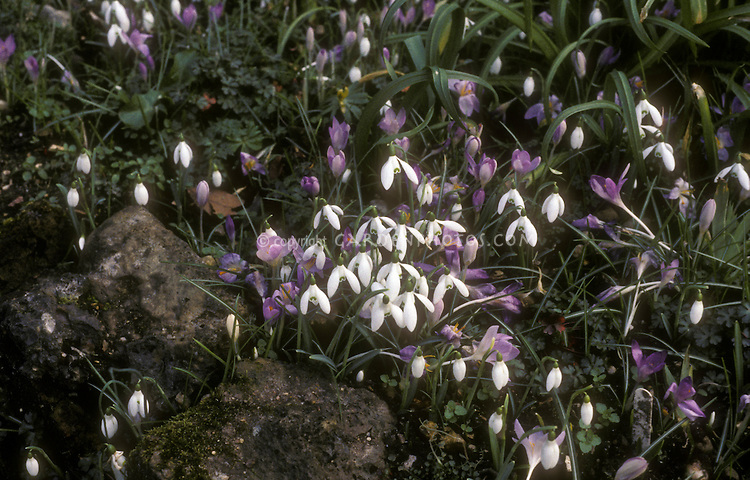 Crocus and Snowdrops (Galanthus) naturalized together in spring