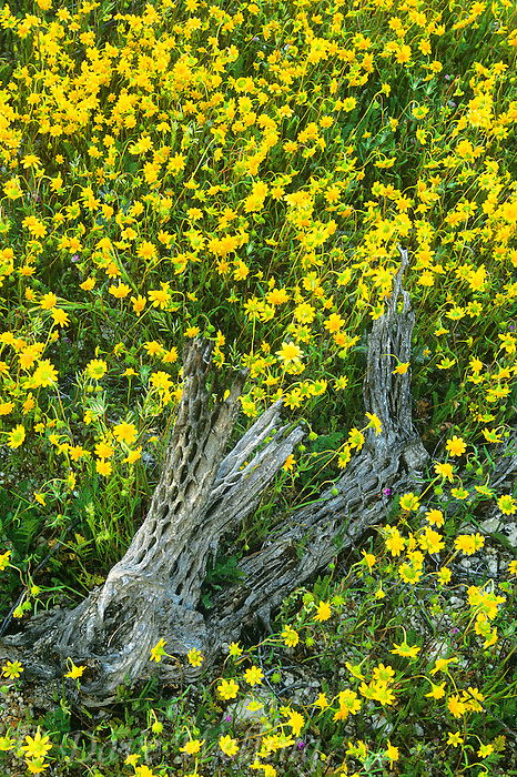 132000007 a field of blooming goldfields lashenia chrysostoma surround a cholla cactus skeleton in an open field in san diego county california