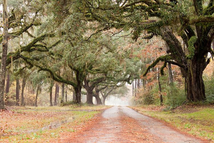Plantation Road Lined Live Oak Trees with Spanish moss Southern South Carolina