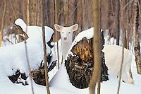 Albino white-tailed deer (Odocoileus virginianus) doe