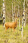 Mule deer in velvet standing among aspens in the San Juan Mountains of Colorado