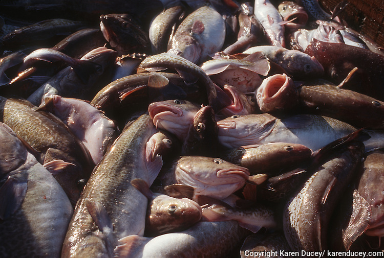 Gray cod fish caught by a dragger, also known as a trawler,  in the Bering Sea.