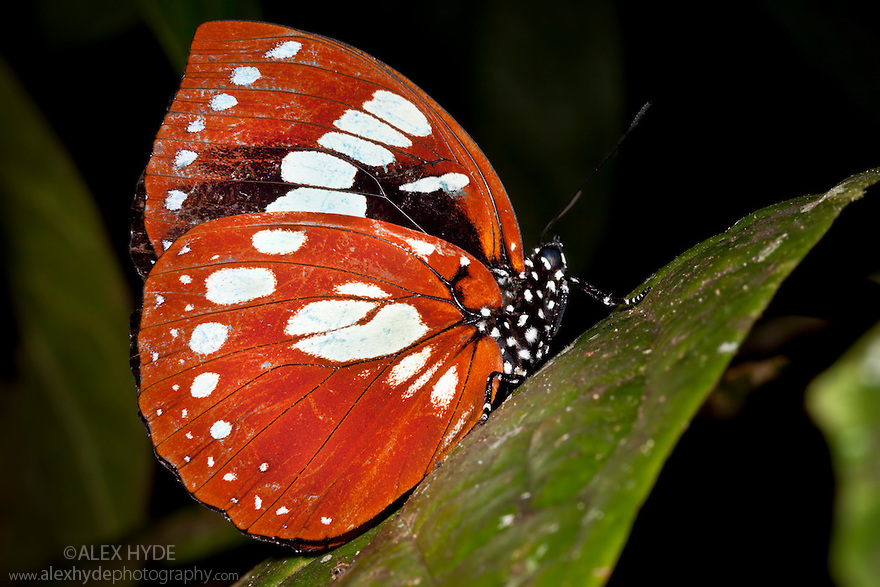 Butterfly resting on vegetation at night in rainforest. Masoala Peninsula National Park, north east Madagascar.
