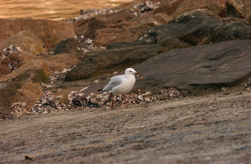 Seagull at Apple Tree Bay, Sydney with something in its beak