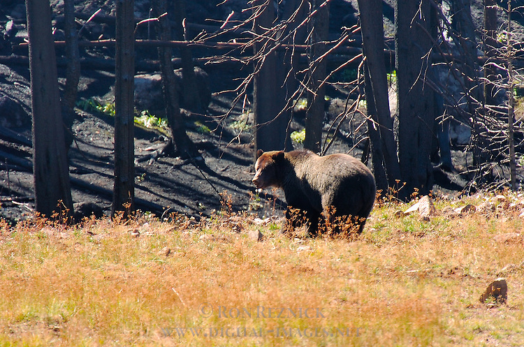Grizzly Bear, Brown Bear, Sylvan Lake, Yellowstone National Park, Wyoming