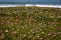 The bluffs above the ocean are covered in a blanket of ice plant with pink, purple and yellow flowers, near the Pigeon Point Lighthouse on the California coast.