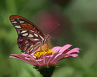 The Gulf Fritillary (Agraulis vanillae) is of the brush-foot or Nymphalidae family and its subfamily is the long-wings (Heliconiiae). It is a medium-sized butterfly..