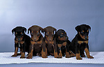 Doberman Pinscher Puppy<br /> <br /> Shopping cart has 3 Tabs:<br /> <br /> 1) Rights-Managed downloads for Commercial Use<br /> <br /> 2) Print sizes from wallet to 20x30<br /> <br /> 3) Merchandise items like T-shirts and refrigerator magnets