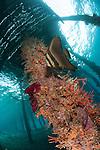 A juvenile Golden spadefish (Platax boersii) aginst a coral encrusted strut under Arborek Jetty, Dampier Strait, Raja Ampat, Indonesia
