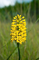 The brightly yellow fringeless orchid growing in a seepage swamp in Liberty County. This is one of the more rare orchids of North Florida.