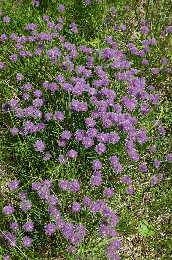 Purple blooms on clover.