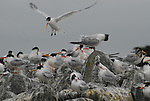 Elegant terns at Moss Landing