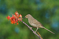581990067 a wild curve-billed thrasher toxostoma curvirostre perches on a flowering ocotillo plant foqueria splendens southern arizona