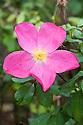 Rosa Rose of Picardy 'Ausfudge'