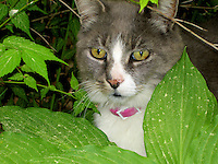Cat in Hosta