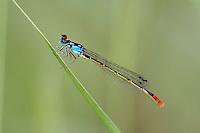 337850027 a wild male painted damsel hesperagrion heterodoxum perches on a grass stem near empire creek las cienegas natural area santa cruz county arizona united states