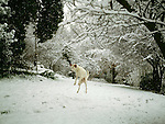A dog catching a snowball in a garden in Kent, England.<br /> [This photograph is currently licensed through GalleryStock - please contact the photographer for details]