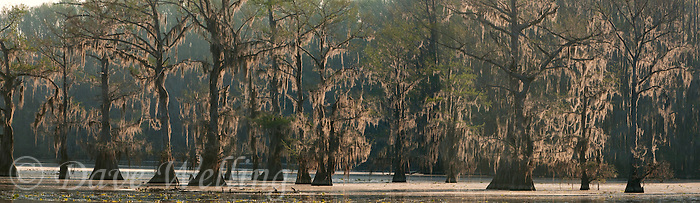 978000008 texas panoramic scenic of moss draped cypress trees in caddo lake in east texas
