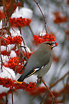 A bohemian waxwing perches on a mountain ash branch feasting on berries.
