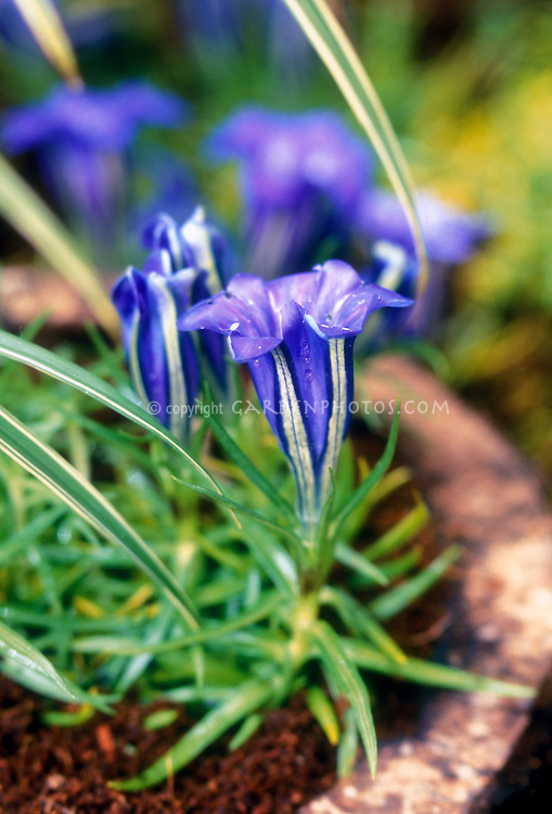 Gentiana x stevenagensis, blue flowers alpine plant