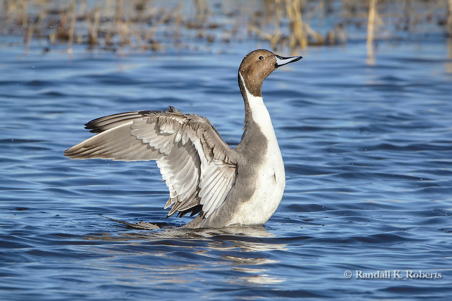 Northern pintail (Anas acuta) shakes and preens in the water of the Bosque del Apache National Wildlife Refuge, New Mexico