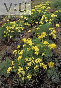 Desert Parsley ,Lomatium,, North America.