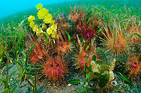 A group of sea urchins in a bed of eel grass, Manado, Sulawesi, Indonesia. Bunaken Marine Park and the nearby dive sites around Manado are a very popular dive destination, famous for beautiful coral reefs, marine biodiversity and vertical walls.
