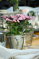 Pink lace-cap Hydrangea planted in a Venetian etched glass and silver goblet