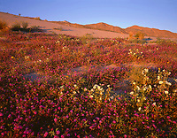 CADAB 115 - Evening light on desert sand verbena and dune evening primrose with the Santa Rosa Mtns. rising in the distance, Anza-Borrego Desert State Park, California, USA --- (4x5 inch original, File size: 6117x4800, 84mb uncompressed)