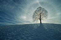 Linden tree (Tilia sp.),bare tree in winter with aura, Switzerland