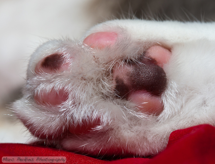 A closeup of Lucca's hind paw.  Her paw pad leathers are multicolored because she's a dilute caliby (blue patched tabby and white), so the leathers are patterned just like the rest of her is.  The leathers are a mix of two colors: blue (dilute black) and pink/rose.  The texturing on the pads is also visible; it's like she's got all-terrain tire treads on her paws :)