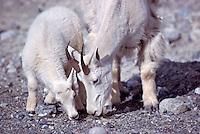 Mountain Goat Nanny and Kid (Oreamnos americanus), aka Rocky Mountain Goat, licking Salt at Mineral Lick, Kootenay National Park, BC, British Columbia, Canada