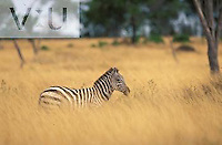 Burchell's Zebra in tall grass. ,Equus Burchelli, Kenya