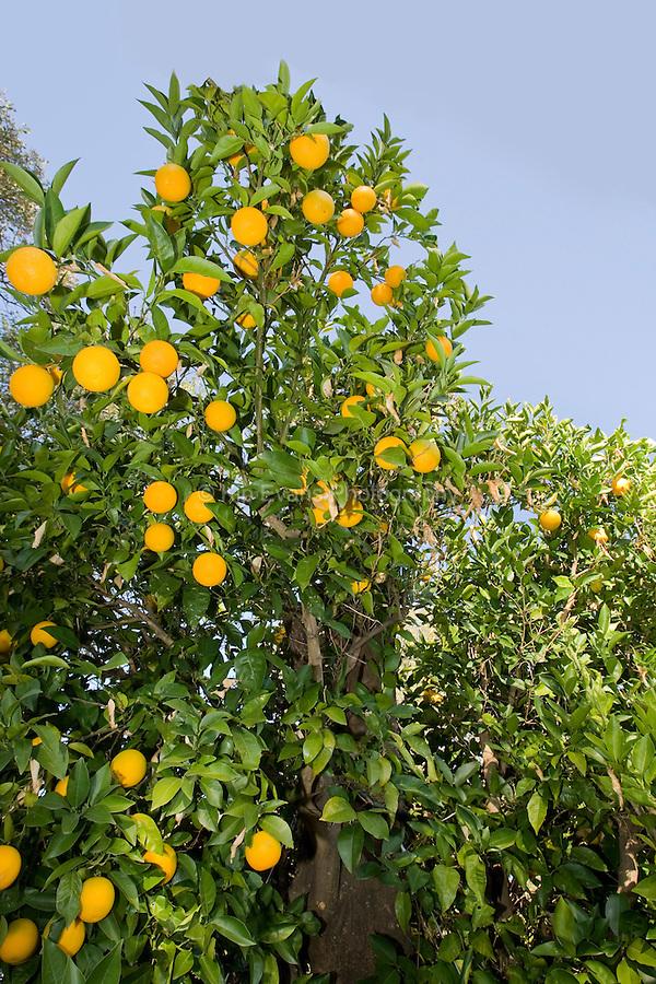 Bidwell Mother Orange Tree, showing oranges.
