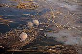 Wanneer na een lange vorstperiode het ijs smelt komen de dode vissten (hier karpers) bovendrijven. Sneeuw op het ijs veroorzaakte zuurstofgebrek in het water.