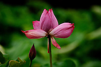 A lotus flower unfolds beautifully against the dark green leaves of the lotus pond, Ritsurin Park, Takamatsu, Japan.